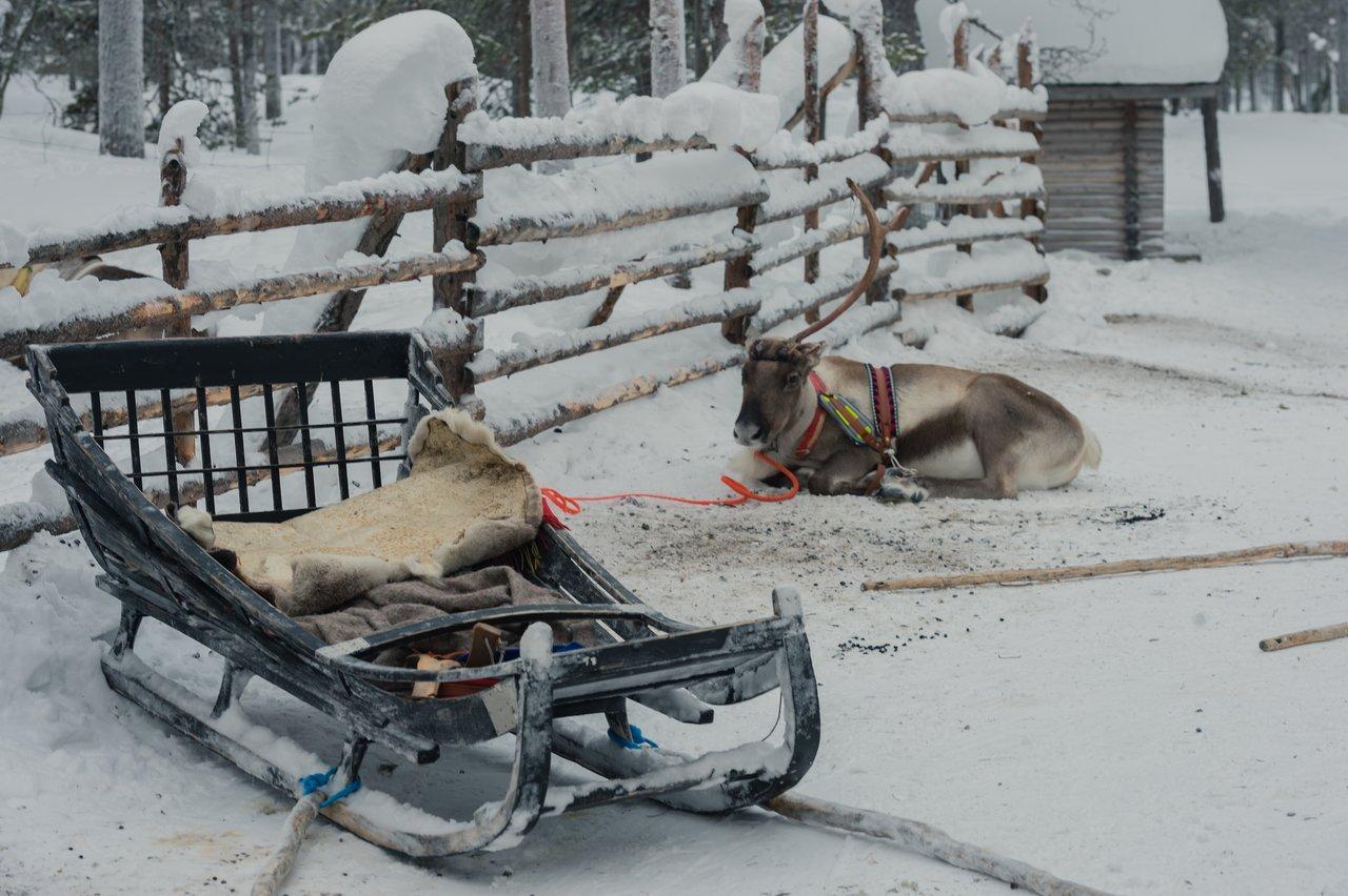 Reindeer sledding