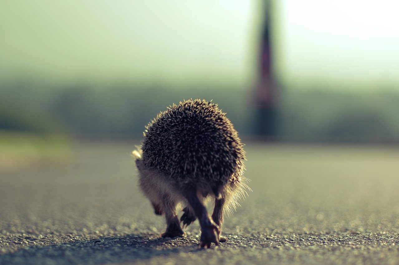 Hedgehog on the walk