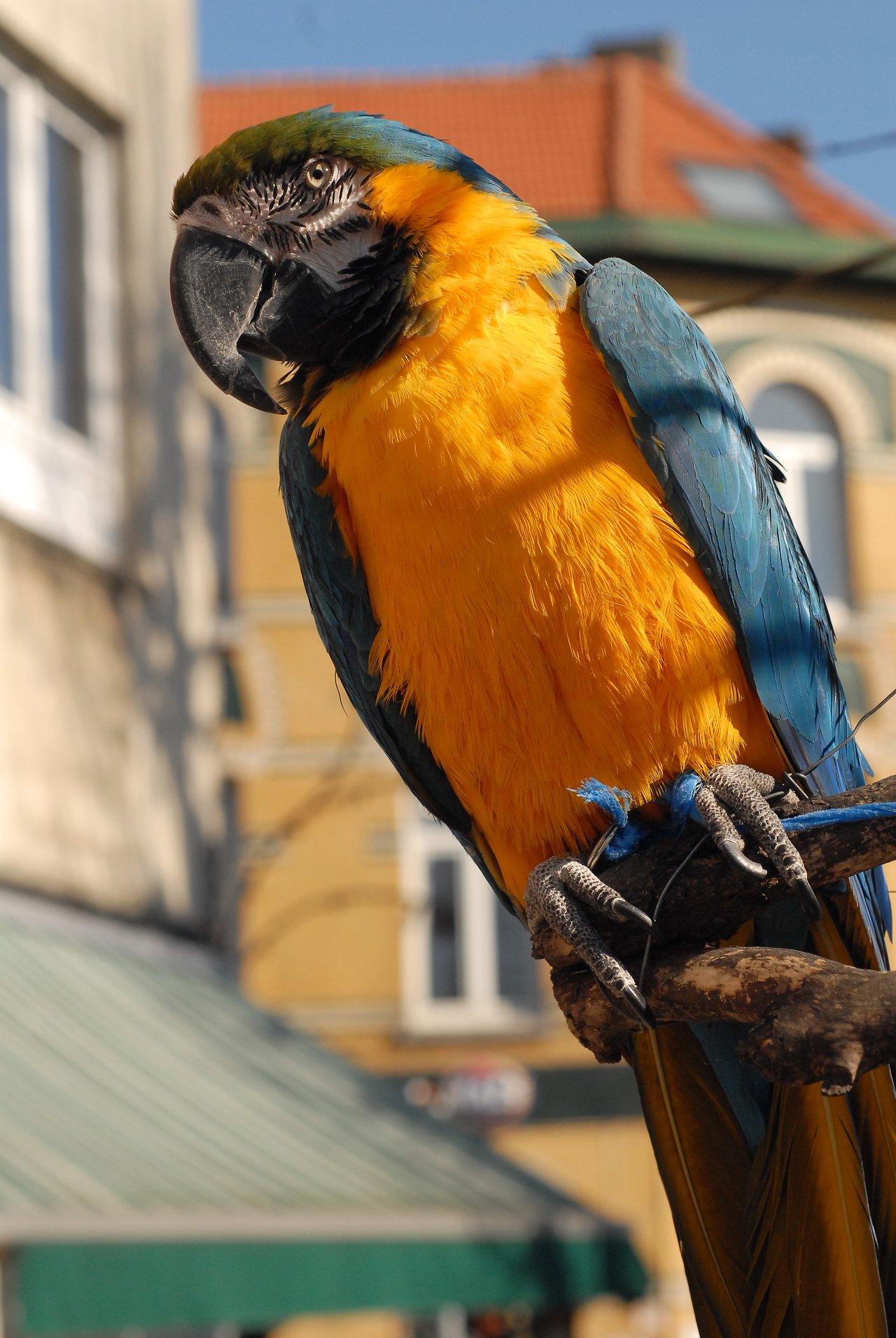 Street macaw